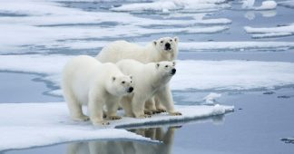 Polar Bears' Diet Is 25% Plastic, Russian Scientists Say