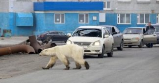 Polar Bears in Arctic Forced to Feed on Plastic