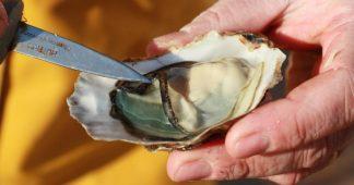 """""""On a constaté jusqu'à 60% de mortalité des huîtres"""" : les néfastes conséquences du réchauffement climatique sur les coquillages"""