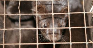 WHO probing Covid-19 MUTATION in minks after massive Denmark outbreak & decision to cull 15 million animals