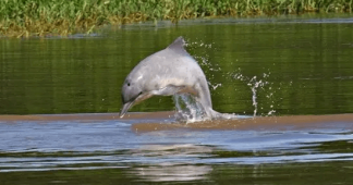 Amazon's Freshwater Dolphins Are in Danger of Extinction