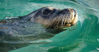 Population of Australia's only unique seal has fallen by 60%, study finds